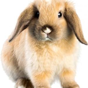 Какво трябва да знаем за домашното зайче?